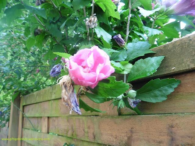 Blüten vom Nachbarn August2016