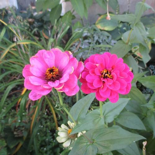 Twin pink #toronto #flowers #zinnia #latergram #pink