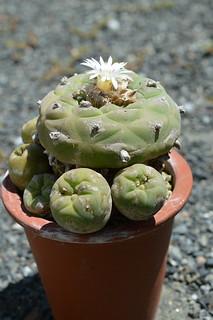 DSC_3831 Lophophora diffusa ロホホラ ディフューサ