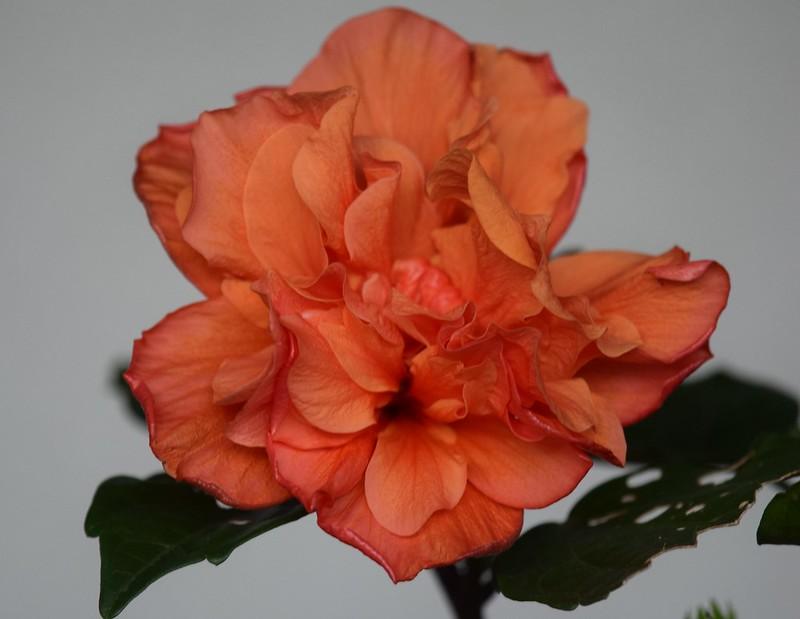 Hibiscus 18.10 (4)