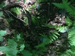 Large Timber Rattler