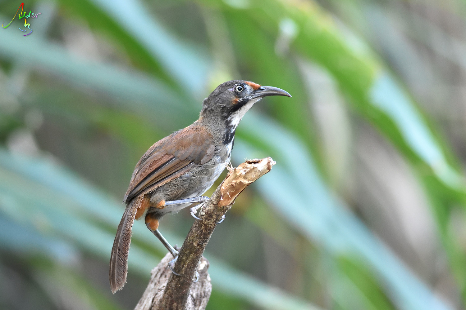 Rusty-cheeked_Scimitar_Babbler_5036
