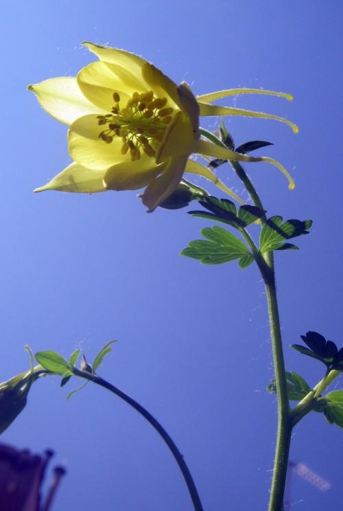 Aquilegia chrysantha 7102958135_97003baf1f_o