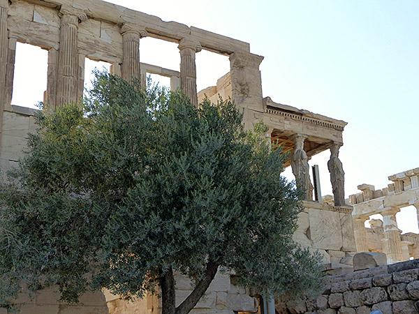 l'oliveir d'Athéna
