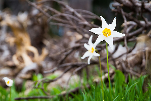 Avalanche Lily | by fuerst