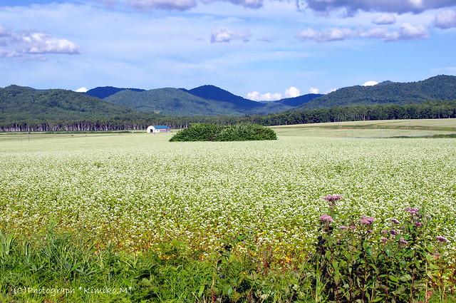 幌加内町新成生「白絨毯の畑」②