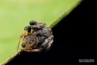 Orb weaver spider (Araneus nox) - DSC_9497