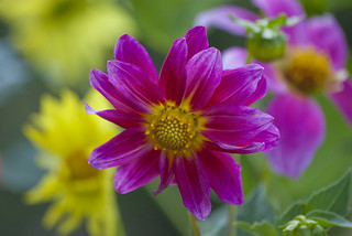 Purple dahlia | by PriscillaBurcher