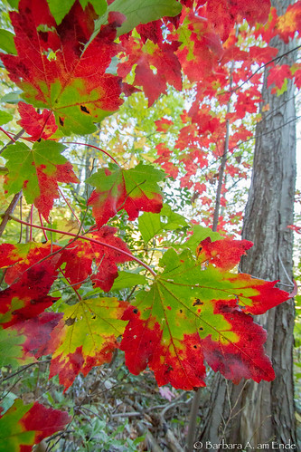 A few colorful maples | by Squirrel Girl cbk