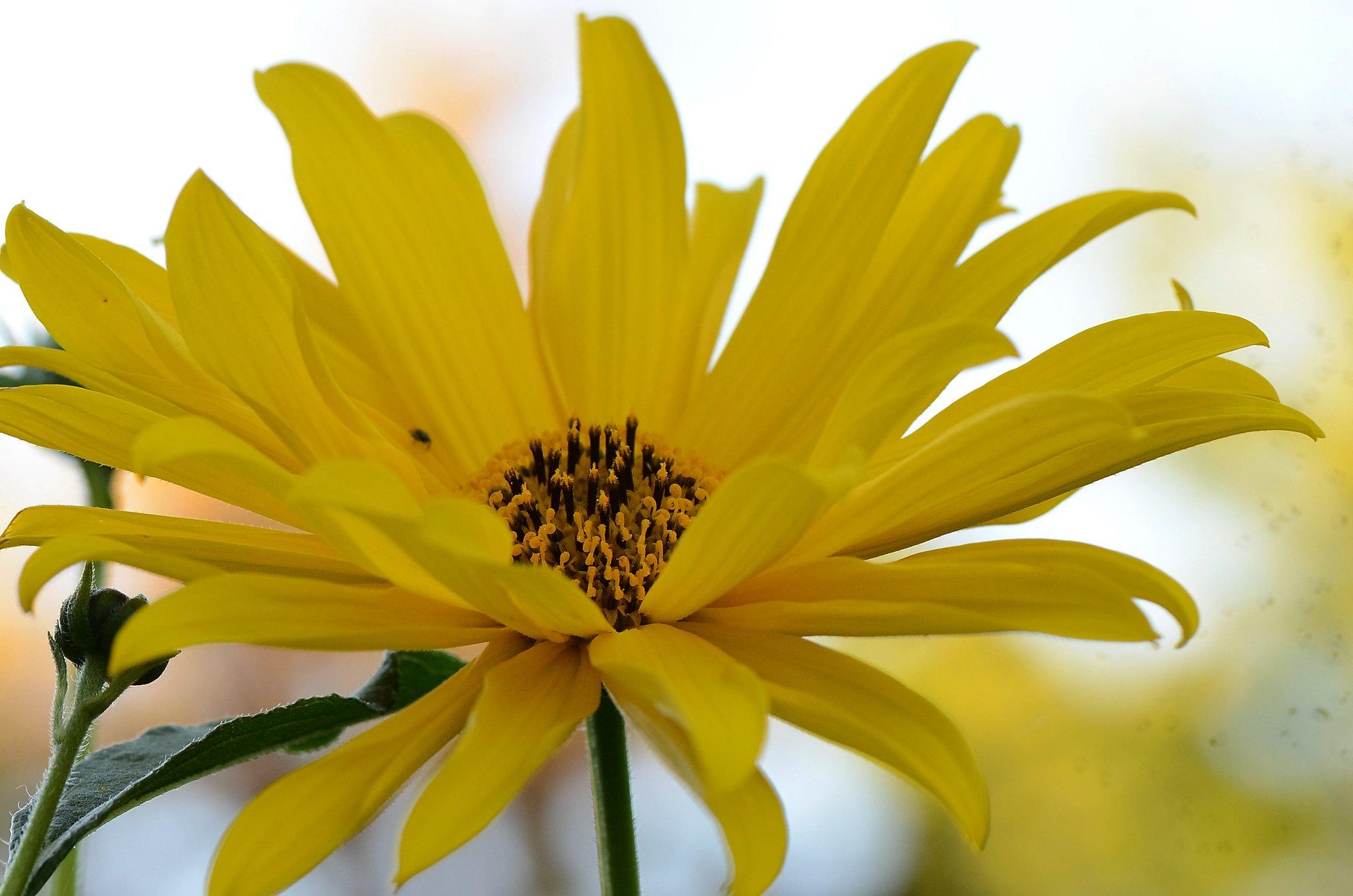 Rudbeckia Laciniata 08.09 (2)