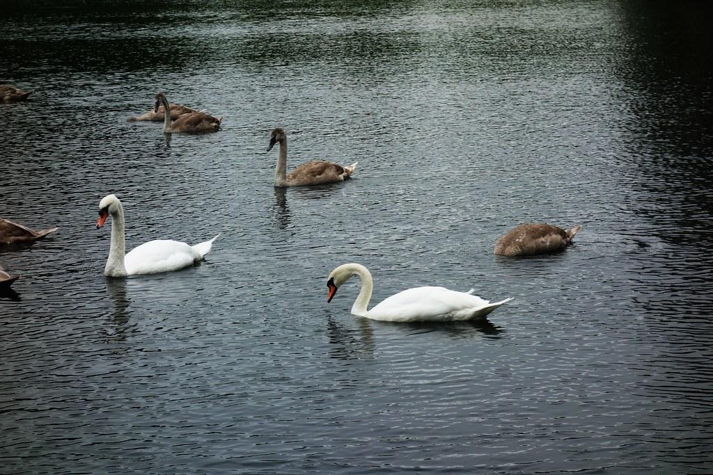 Bevy of Swans, Rouken Glen, Glasgow