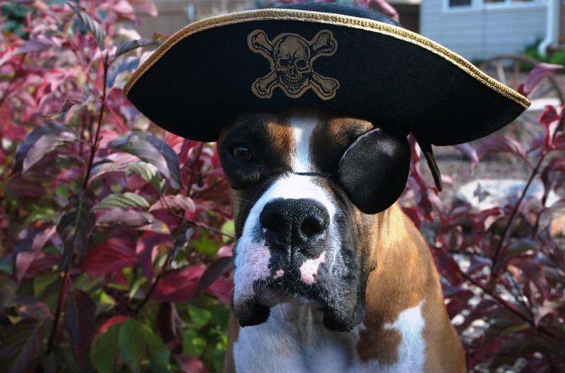 dog dressed like pirate