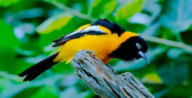 Black Headed Yellowbird_1