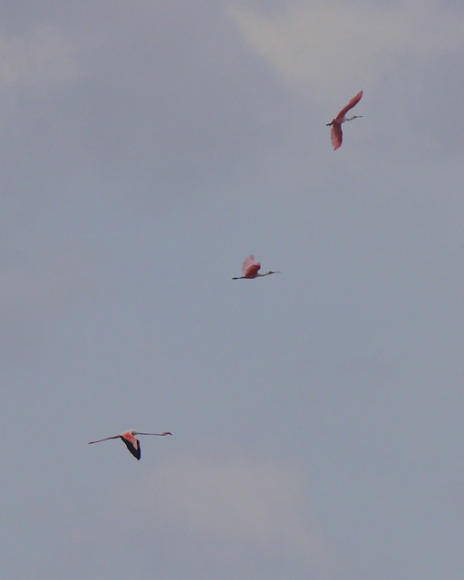 Greater Flamingo in flight - 5