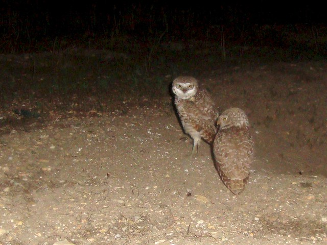 burrowing owls 10