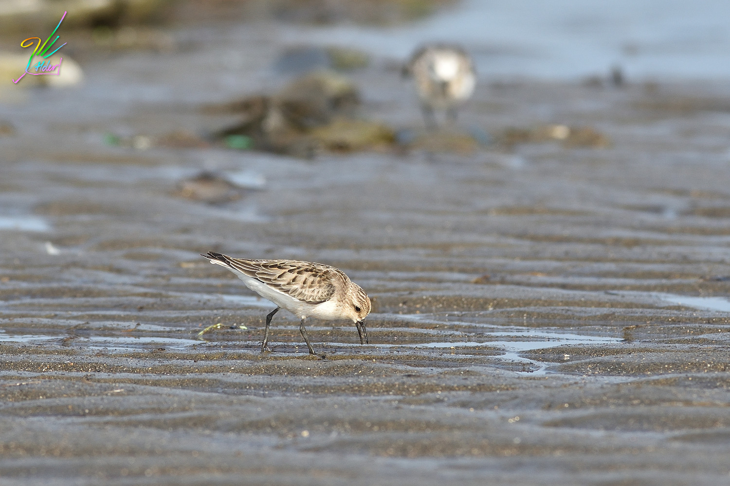 Red-necked_Stint_0965