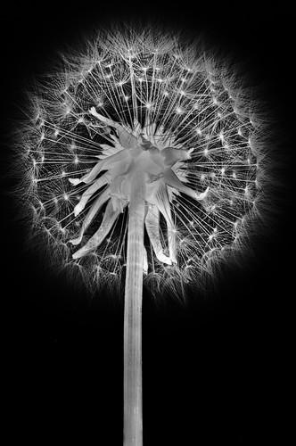 Dandelion Superior
