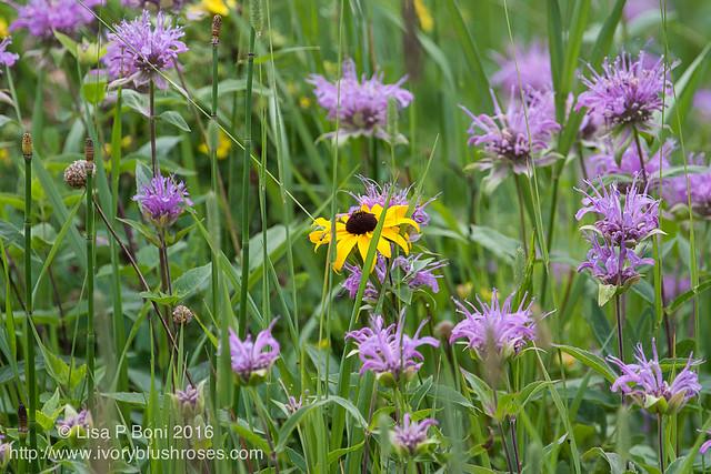 2016.07.21RMNPflowers05