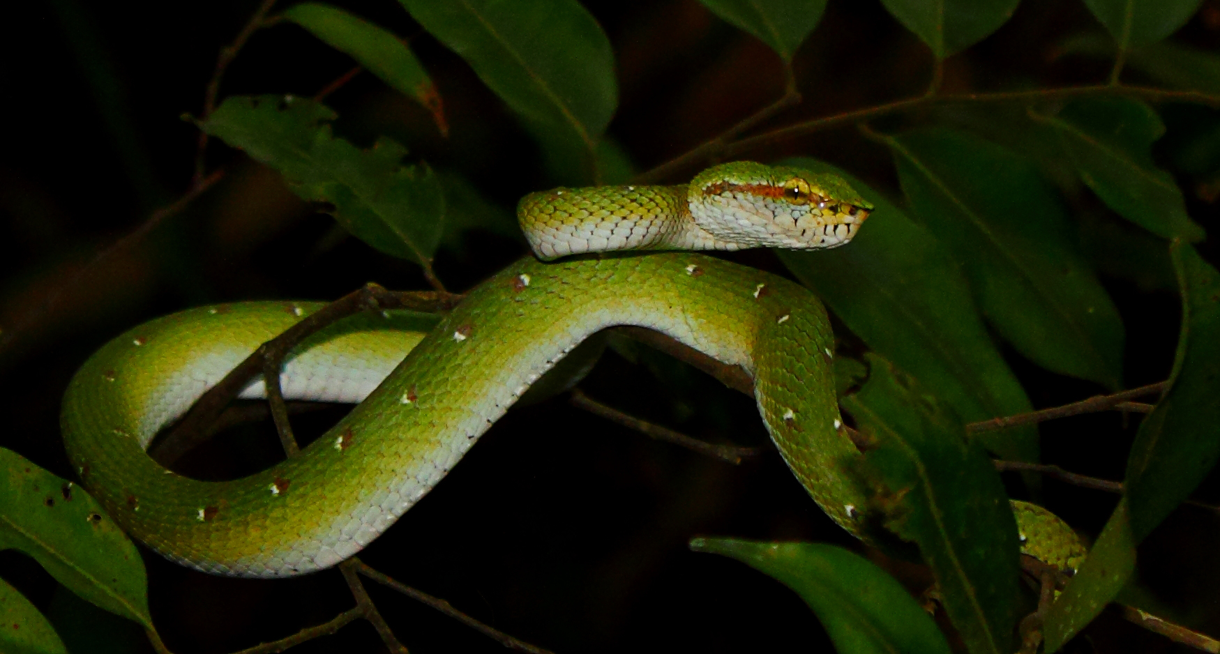 Wagler Pit Viper - First Sighting