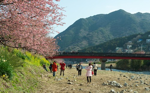 Kawazu river with its famous cherry blossoms