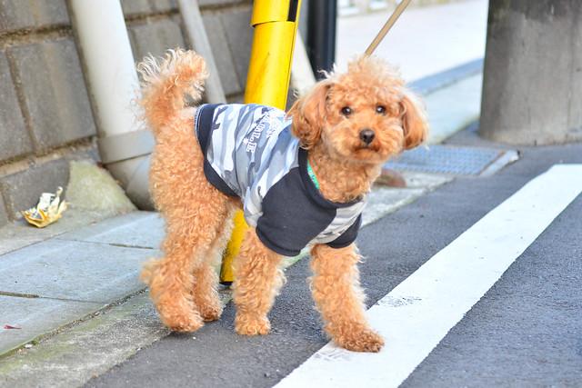 イケメンのトイ・プードル (Handsome Toy Poodle)
