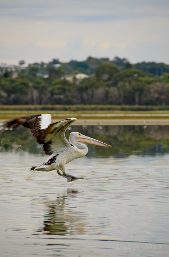 Pelican taking off..
