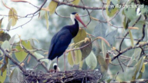 นกกระสาคอขาวปากแดง
