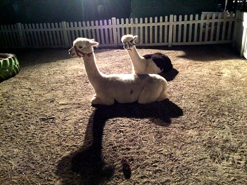 Alpacas at Hunt Club (October 18 2015)
