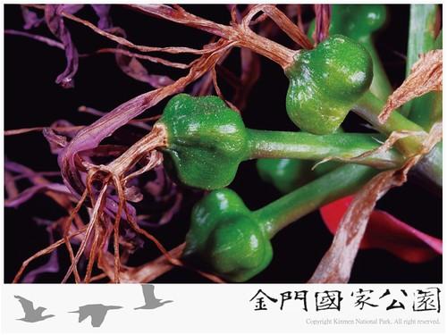 紅花石蒜-02