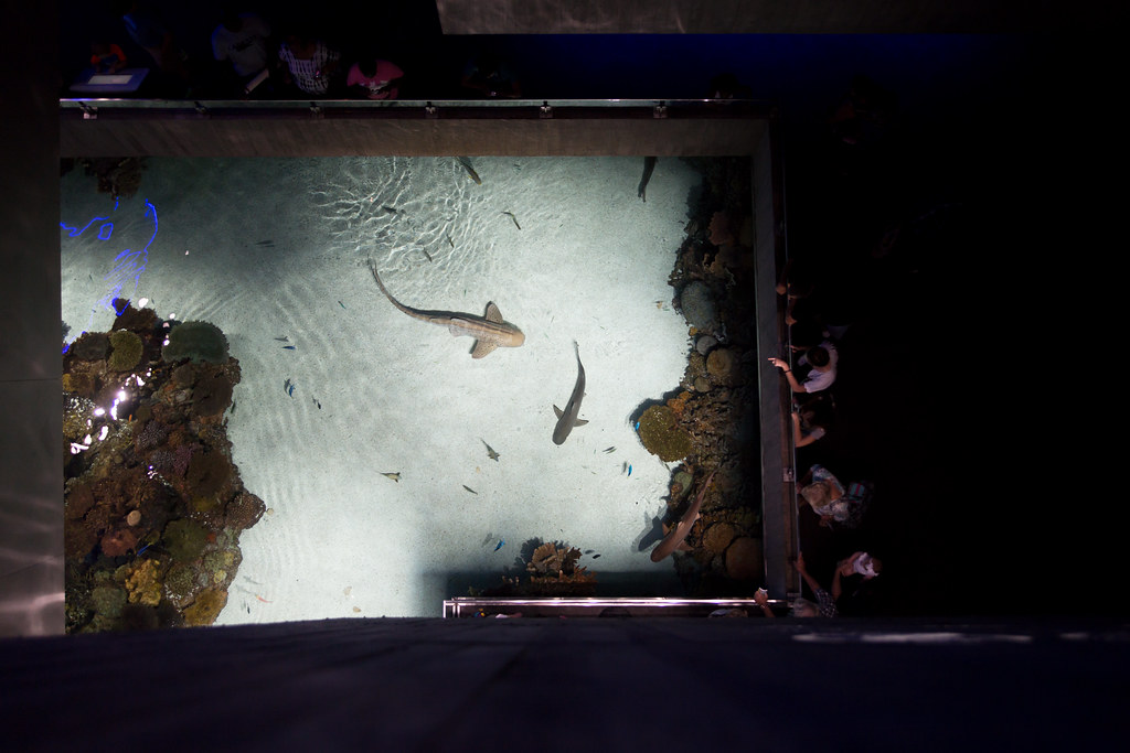 Arial of a Zebra Shark and a couple Black tips