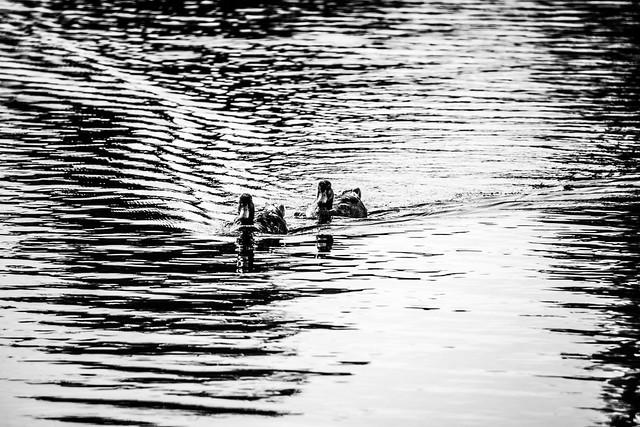 b&w ducks