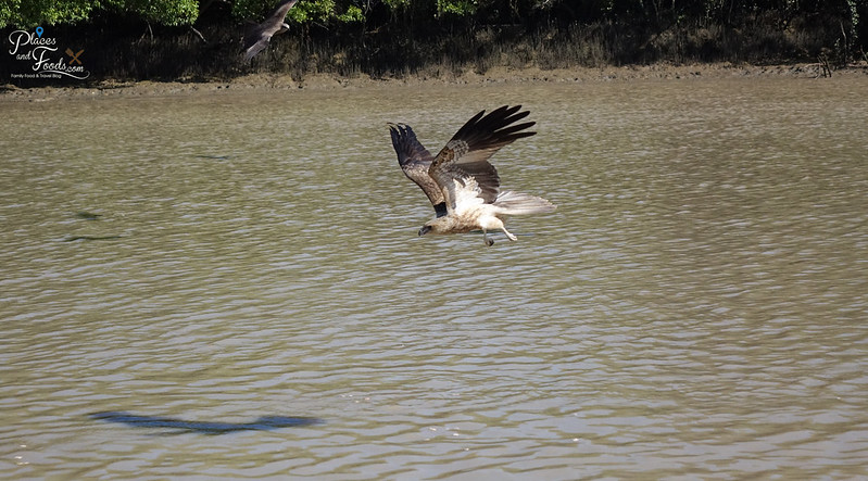 darwin tours eagles in adelaide river