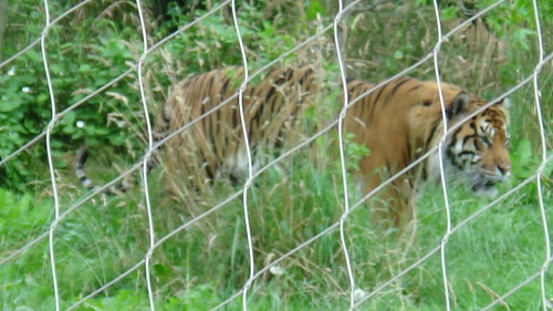 London Zoo July 16 Tiger 1