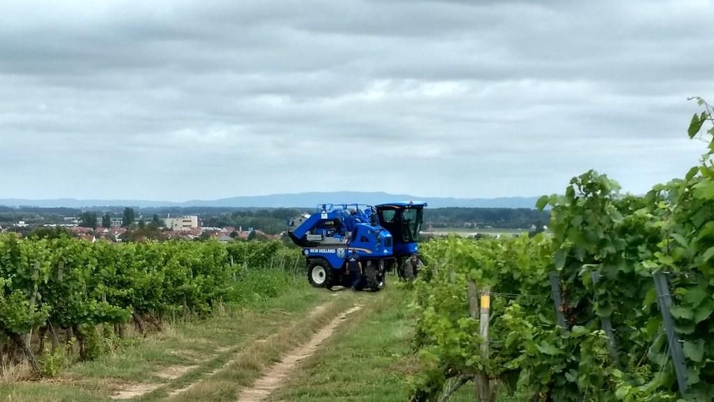Vollernter in den Weinbergen zwischen Worms und Osthofen