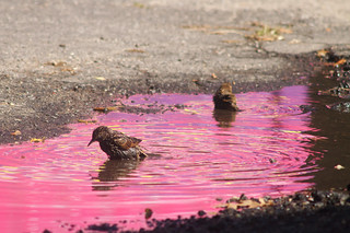 Starling Bath | by 9brandon