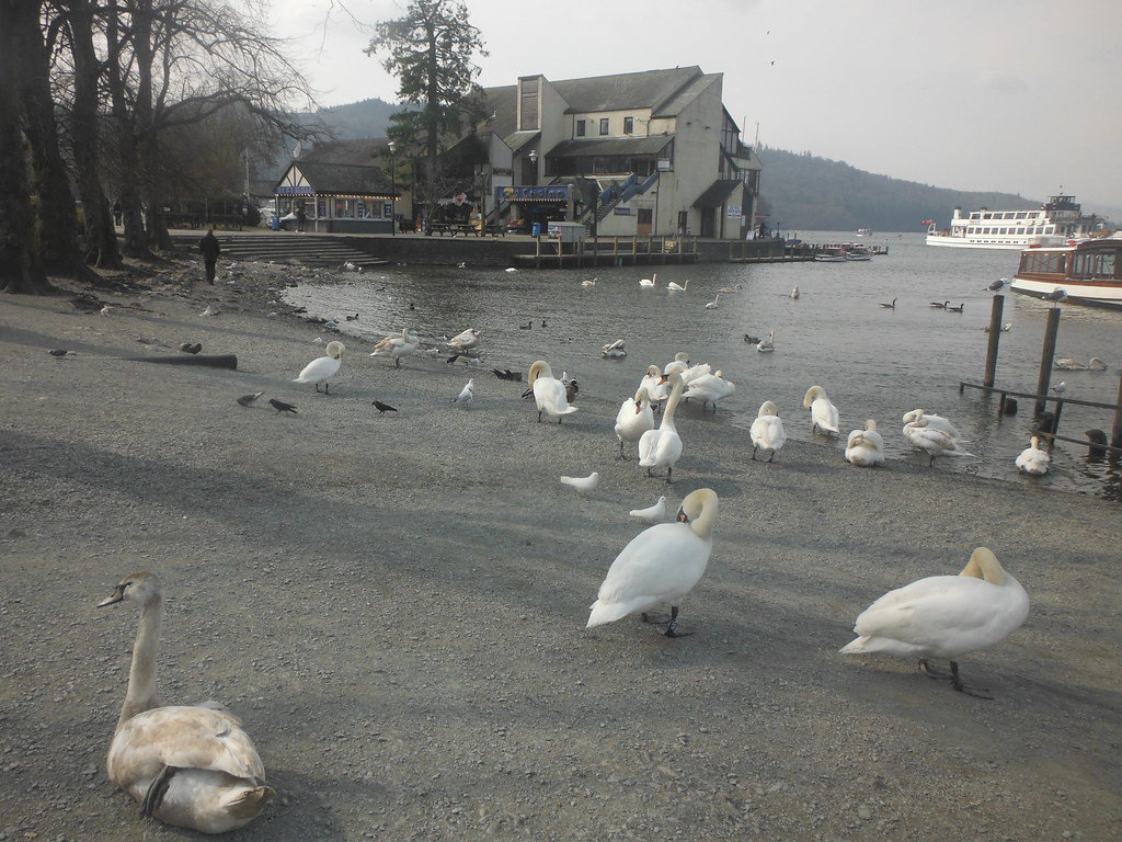 Bowness Swans 3