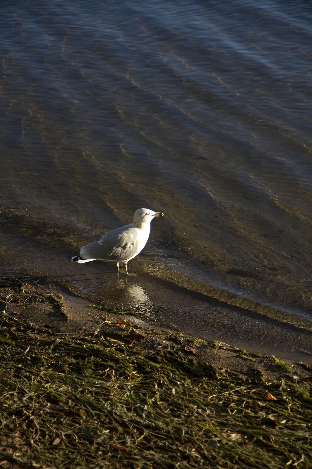 shore gull3