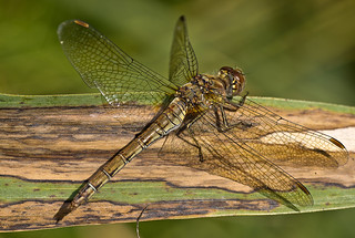 common darter | by David Rounce