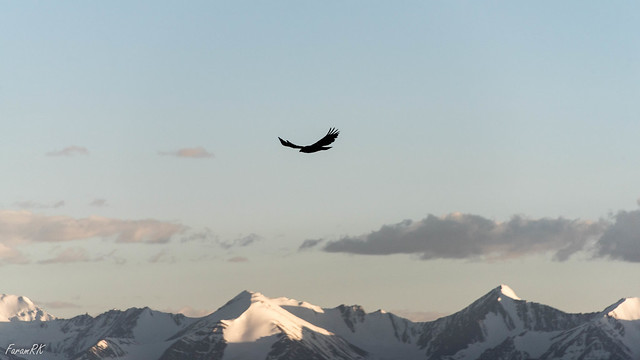 Golden Eagle near Khardung La, with Zanskar Range in the background