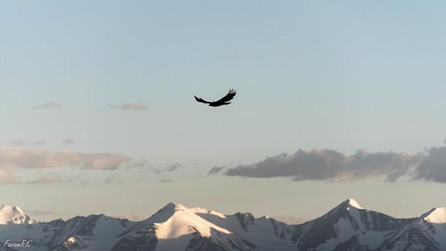 Golden Eagle near Khardung La, with Zanskar Range in the background
