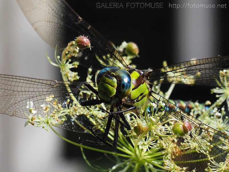 Dragonfly / Libelle