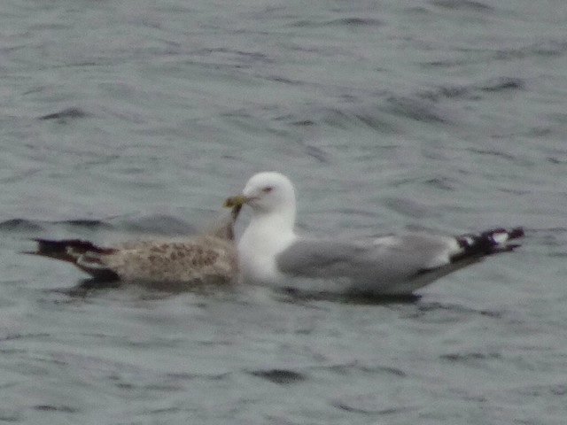 Seagull Feeding its Young