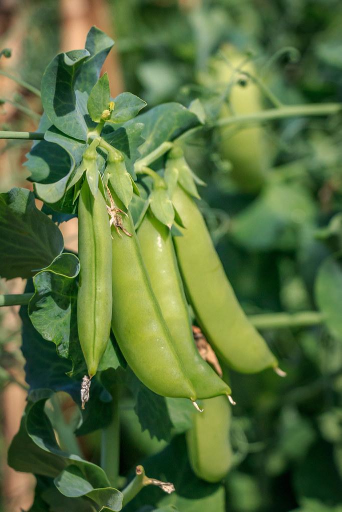 peas—August 16th