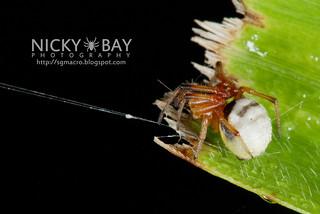 Orb Weaver Spider (Milonia obtusa) - DSC_6323