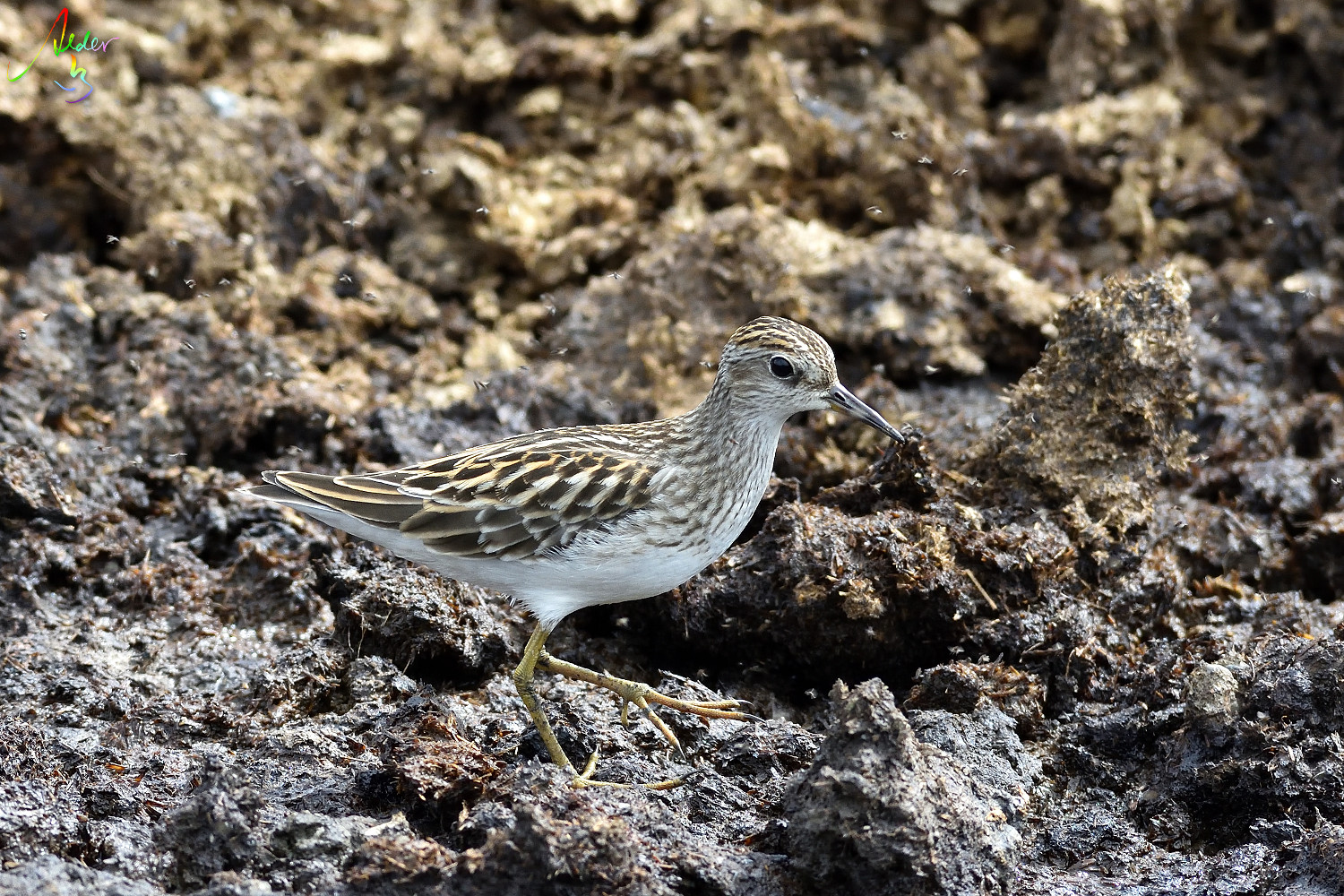Long-toed_Stint_8159