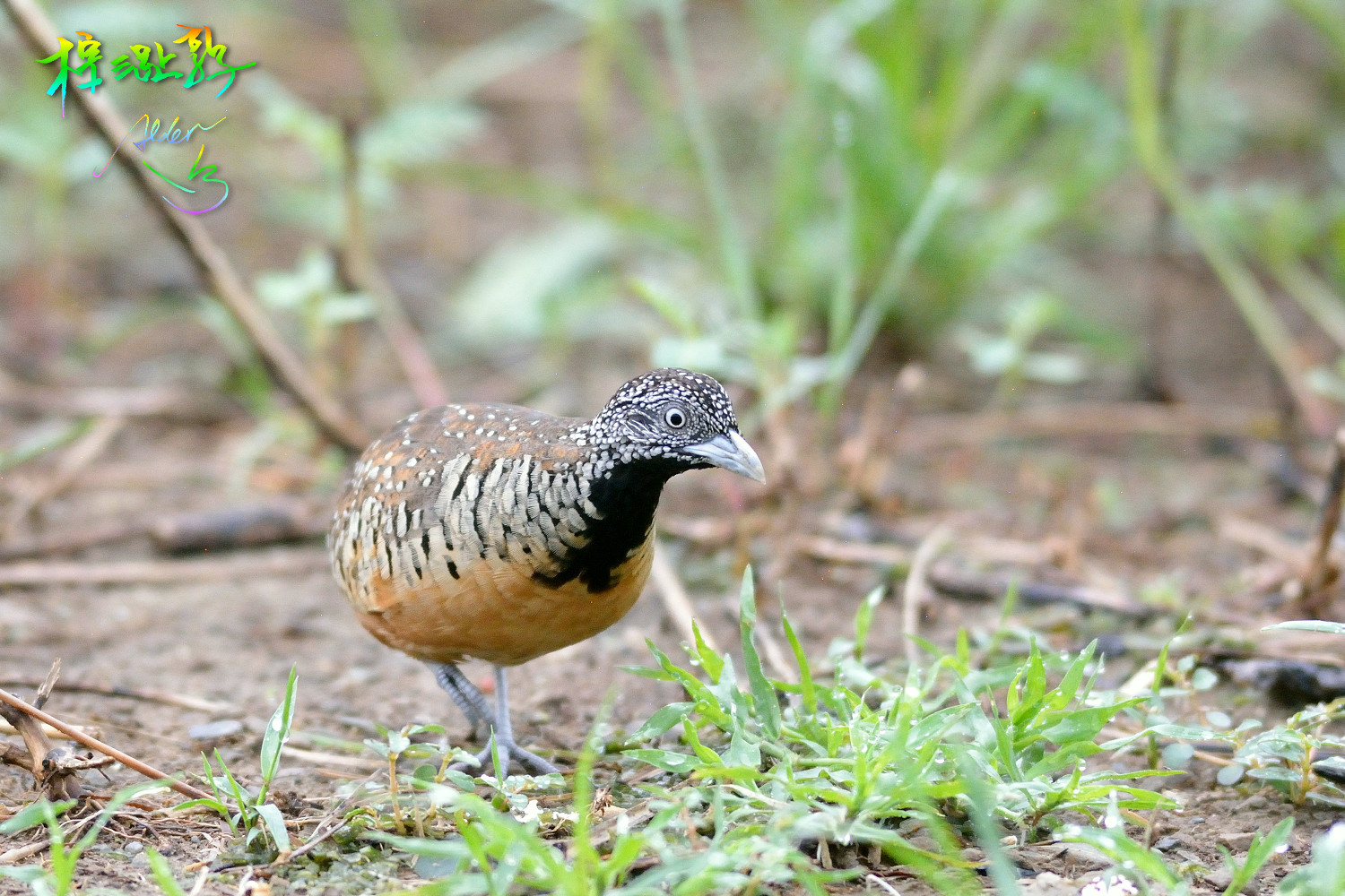Barred_Buttonquail_7162