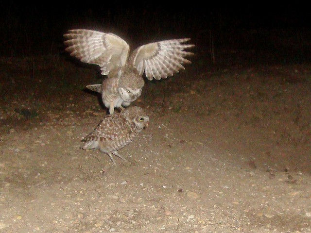 burrowing owls 9
