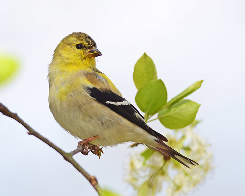 American Goldfinch | Some days draw a good variety of ...
