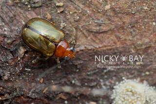 Leaf beetle (Chrysomelidae) - DSC_5103