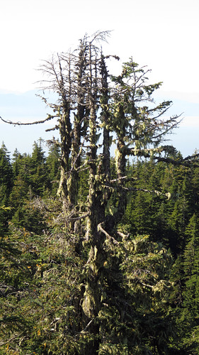 Bare tree on top of Cypress Mountain in West Vancouver